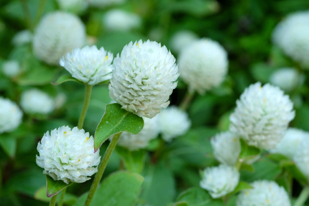 Globe Amaranth, Bachelor Button, tropical flower in spring season background, outdoor nature background Stock Photo