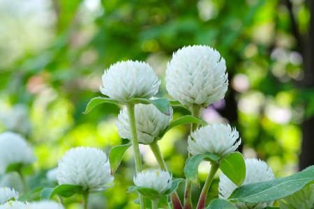 button: Globe Amaranth, Bachelor Button, tropical flower in spring season background, outdoor nature background Stock Photo