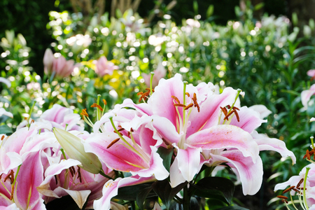 Flower nature background, Blossom pink lilly flower in spring season Stockfoto