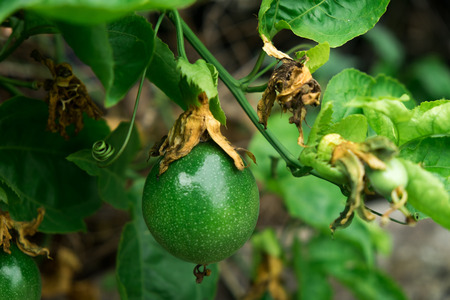 Close up of passion fruit