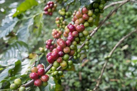 stimulant: Coffee beans ripening on tree.