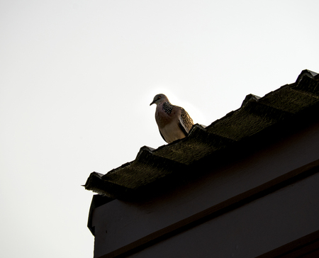 roof profile: Silhouette of pigeon on the top of roof. Stock Photo