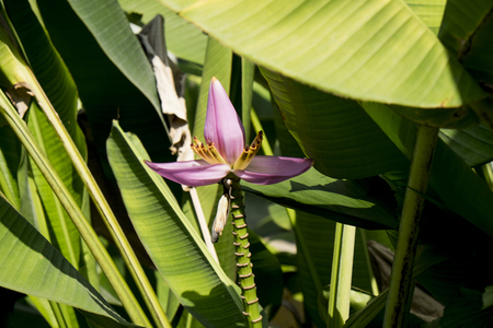 pointing herbs: Banana flower with Green leave.