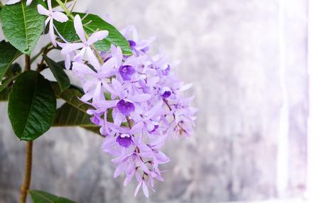 petrea volubilis: Petrea Flowers on the bright texture background. (Queens Wreath, Sandpaper Vine, Purple Wreath) Scientific name: Petrea volubilis, Petrea kohautiana.