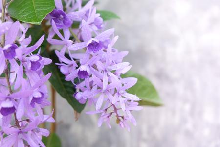 petrea: Petrea Flowers on the bright texture background. (Queens Wreath, Sandpaper Vine, Purple Wreath) Scientific name: Petrea volubilis, Petrea kohautiana.