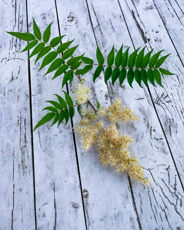 A branch of alpine aster with open and unblown flowers and green leaves. Loosely lying on a wooden table in gray with a pronounced texture. It can be used as a background image.