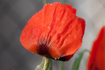 poppy flower: Red Poppy flower