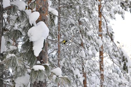 tit bird: tit bird sitting on a branch, winter landscape. Stock Photo