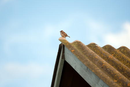 Cute small sparrow bird sitting on rusty roof on rural house. Фото со стока