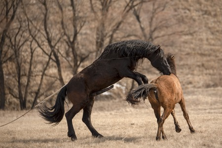 Horses having sex on the meadow