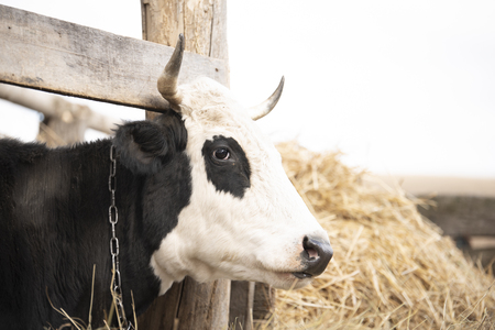Black cow chained outdoor Stock Photo