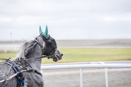 Gray horse with a blindfold on runs trot on the racetrack