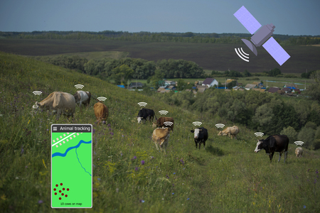 With the help of a smartphone and a sensor on the cow determine the location of the cow. Smart farming. Technologies in agriculture.