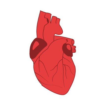 Vector image of human heart in red on white background. EPS 10