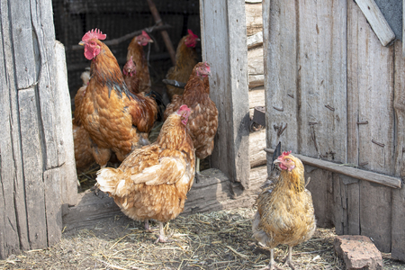 Red cock and hens stand at the barn, brush their feathers and look at the camera