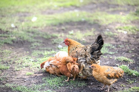 Red chicken (mother) with chickens digging in the ground, looking for food, resting, lying, cleaning feathers