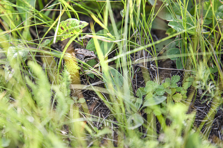 Brown frog hiding between green plants on the ground