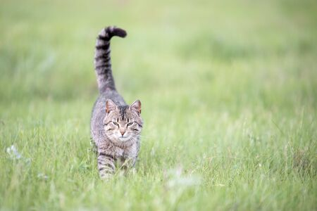 Beautiful cute brown cat with stripes walks on the field with green grass on summer day
