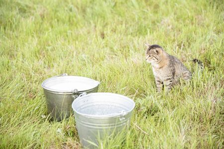 A beautiful cute brown cat with stripes sits in a field with green grass next to buckets of milk and looks at them