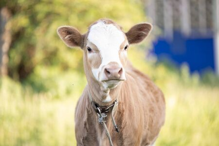 Young red white calf on leash in summer day