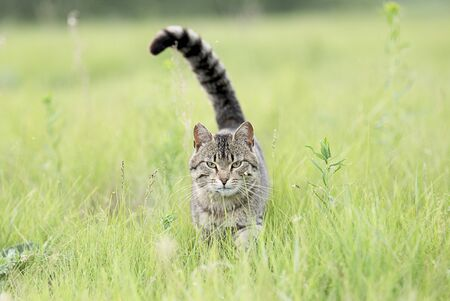 Beautiful cute brown cat with stripes walks on the field with green grass on summer day. Looking at the camera