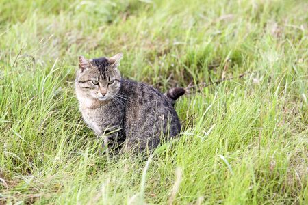A beautiful cute brown cat with stripes sits in a field with green grass on a summer day