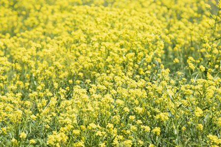 Summer beautiful field covered yellow flowers