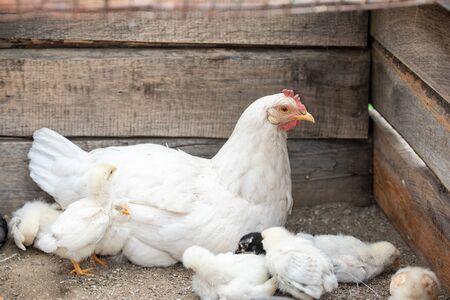 White chicken and little chickens around her Zdjęcie Seryjne