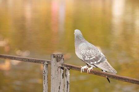 One pigeon sitting on railing in autumn park