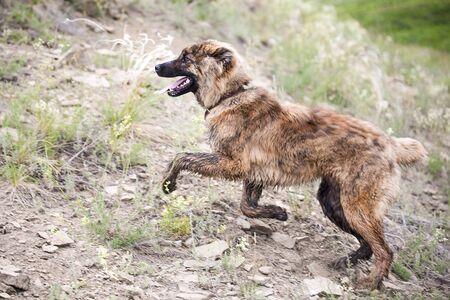 Beautiful brown young asian shepherd