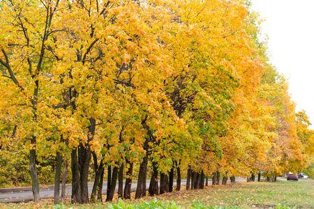 Autumn beautiful yellow orange trees in row Zdjęcie Seryjne