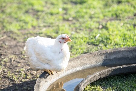 One white adult broiler in Sunny bright day in country yard