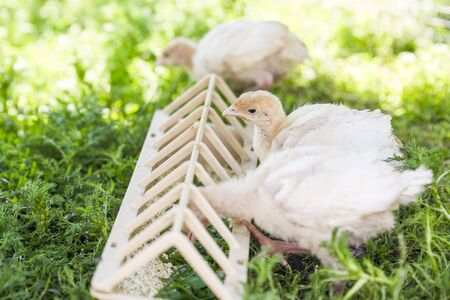 White little turkeys on summer day on green grass 写真素材