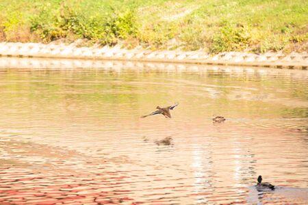 Beautiful colorful ducks on pond in autumn park Zdjęcie Seryjne