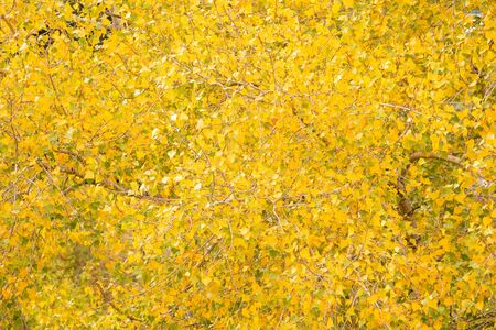 Yellow trees leaves in autumn day. Pattern