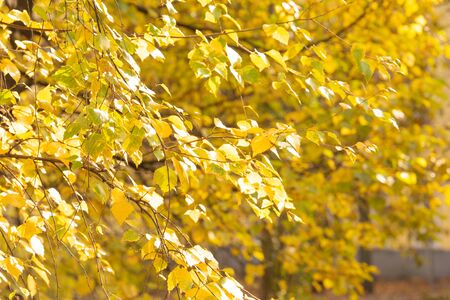 Yellow leaves of birch on branch in autumn day