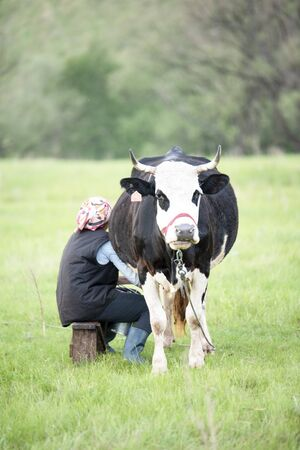 Woman milking black and white cow hands in the field in summer day Banque d'images