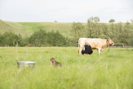 A woman milks white cow with her hands in field and gray spotted cat waits for milk sitting