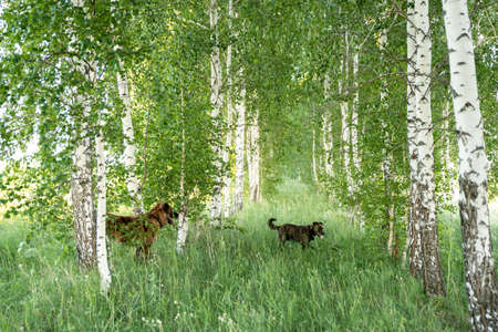Two dogs walk in the birch forest on a summer day. Reklamní fotografie