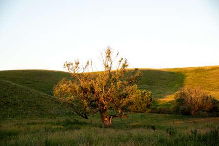 A singular tree standing alone. Sunset sunlight. Hills.