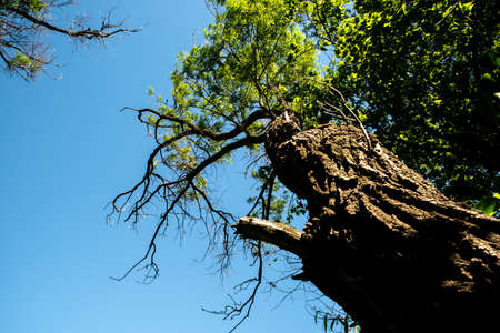 A tree in summer. The view from the bottom up. The tree is partially dry. He's dying. Reklamní fotografie