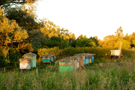 Beehives stand next to trees on a summer evening under the rays of the sun in the shade. The hives are covered with herbs to protect them from overheating. Beekeeping.