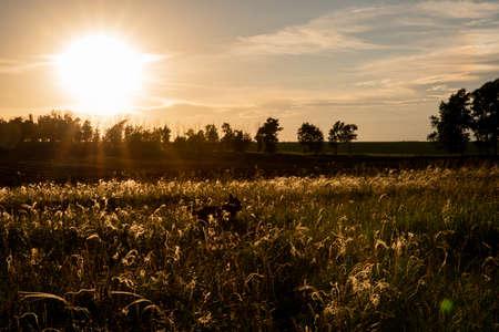 Summer sunset, pet in field. A beautiful field. The grass twists in the wind. Poaceae. Walking. Reklamní fotografie