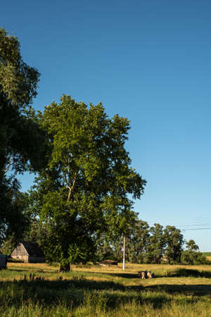 Sheep graze in a field near the village. A clear, sunny summer day. Rural landscape. Vertical photo. Reklamní fotografie