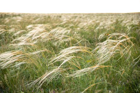 On a summer day, stipa in the steppe. A beautiful field. The grass twists in the wind. Poaceae. Reklamní fotografie
