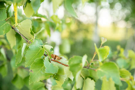 A butterfly sits on a branch of a birch tree. On the background of green birch leaves. Summer. Ecology. Reklamní fotografie