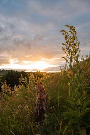A brown dog looks at the sunset. Rear view. Hill, high grass. Vertical photo. Reklamní fotografie