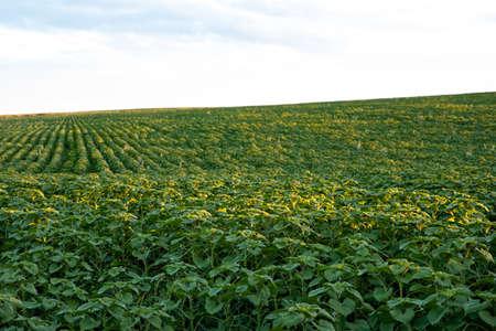 Young green sunflower fiield. Sunset. Sunlight. Landscape. Agroculture.