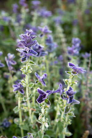 Purple sage in the garden, morning autumn frost on the leaves of flowers. Salvia plant with purple flowers.