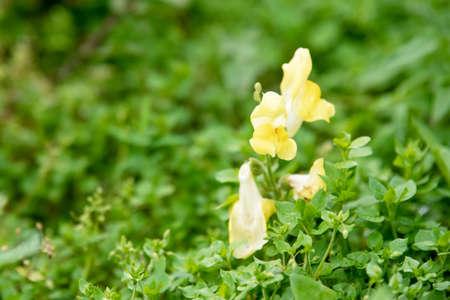Yellow antirrhinum in the garden on a clear summer day. Rural garden.